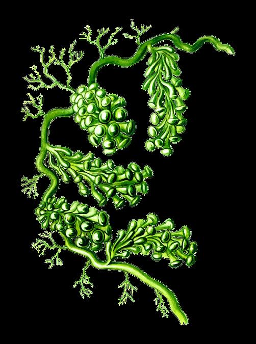 Alghe: una fonte proteica alternativa